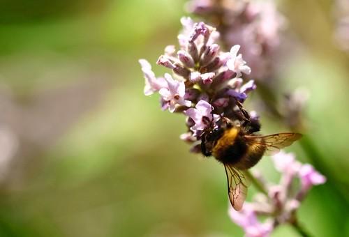 Bumble Bee - 4