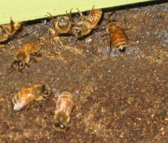 Bee 030