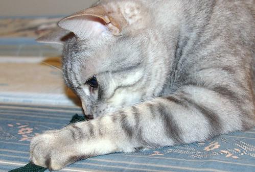 Cat eats delicious yarn