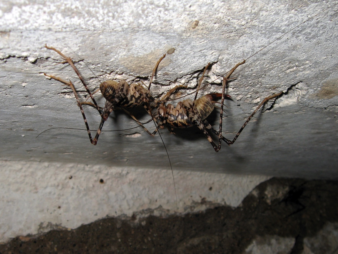 the nasty crickets with pictures in weirdly random forum
