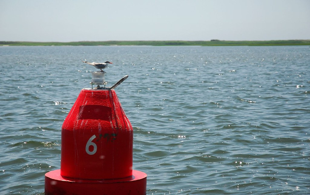tern on buoy 6