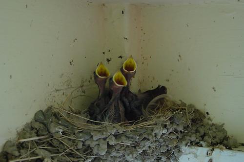 DSC04315_baby_swallows