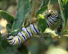 monarchbig