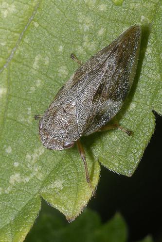 Een cicade