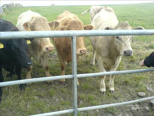 Feeding Clare Cows