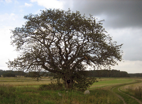 That Old Tree (August 25th)
