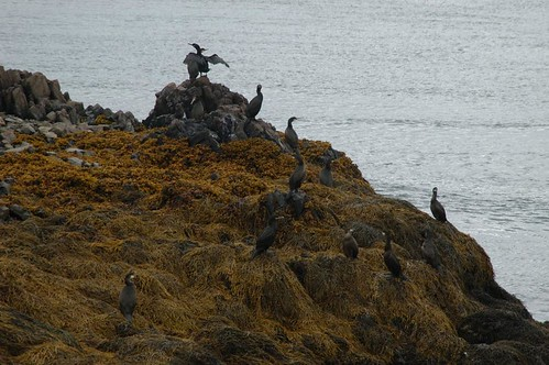 Birds_on_island_@_boat_off_Stykkisholmur,_Iceland_3.jpg
