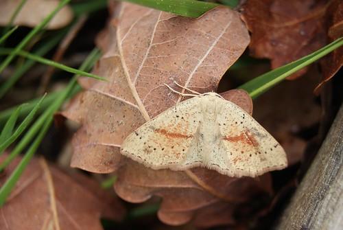 papillon Cyclophora punctaria - L'Ephyre ponctuée ou la Soutenue