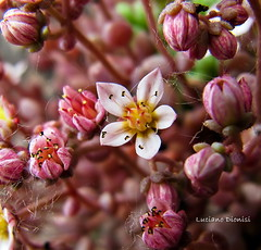 Sedum dasyphyllum  (Risetto) photo by luciano dionisi (very busy)