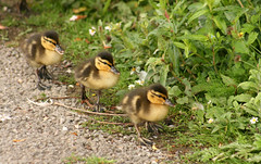 Ducklings ( all in a row ! ) photo by Blossom's mom