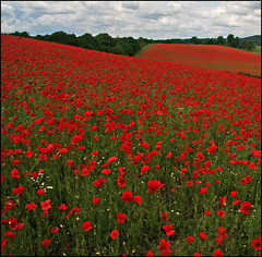 Poppy fields, Blackstone Nature Reserve, Bewdley, Worcestershire photo by alanhitchcock49