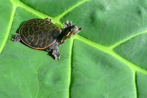 Baby Soft Shell Turtle