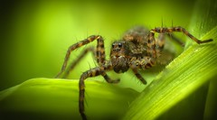 Spotted Wolf Spider (Pardosa amentata) photo by MentalBloc16