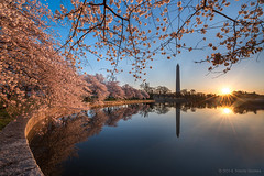 Washington DC Peak Cherry Blossoms 2014 photo by navinsarma