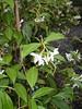 trachelospernum (faux jasmin)