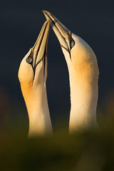 After landing - Northern Gannet (Morus bassanus) photo by Michal Petro