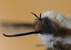 Bee Fly (Bombylius major) photo by Johan J.Ingles-Le Nobel