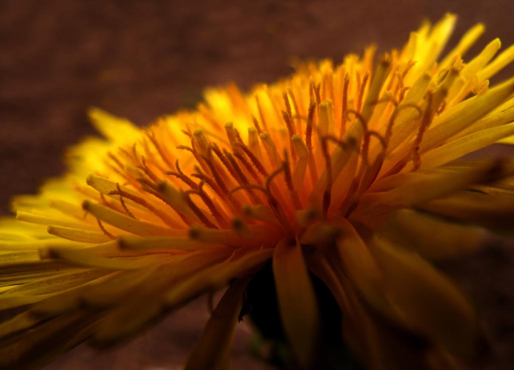 Yellow Beauty in Evening Backlight photo by Batikart