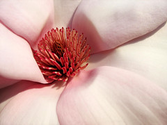 Heart of blooming pink Magnolia photo by Batikart
