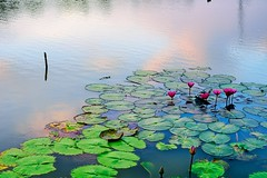 Waterlilies Love the Sunset Sky Too photo by norsez