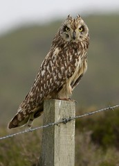 Short Eared Owl (Fem) - Explored 05/07/2012 photo by TL1000R Al (Falling waaaaaayyyyyyyy behind)