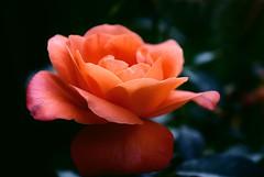 Orange Rose photo by j man.