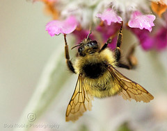 Hungry Bee photo by Bob Noble Photography