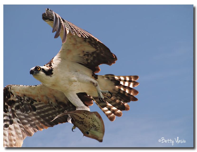 Osprey photo by Betty Vlasiu