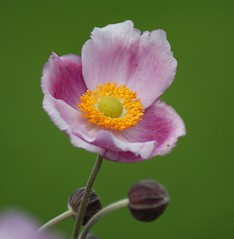 Japanese Anemone. EXPLORED photo by Paul (Barniegoog)