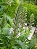 acanthe spinosus