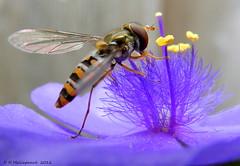 Zweefvliegje op een  Eendagsbloem photo by ditmaliepaard