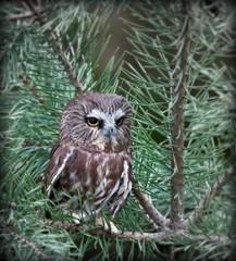 Northern Saw-whet Owl photo by smumpton