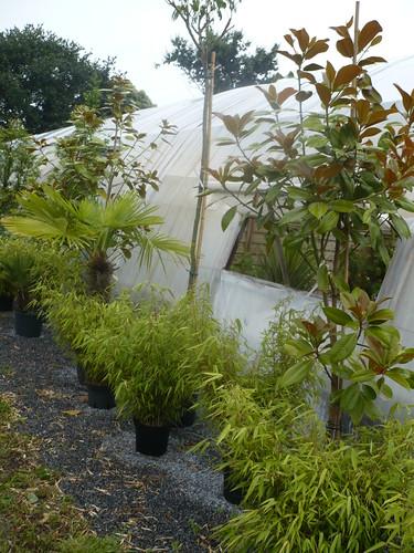 plantes divers (magnolia,albizia tige,rufa)