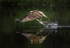 Osprey taking off with fish - reflection photo by Margaret J Walker