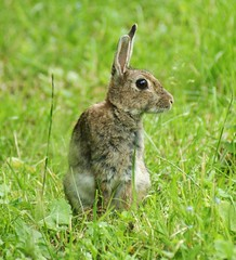 Rabbit photo by Paul (Barniegoog)
