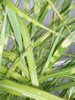 miscanthus zebrinus