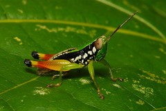 Grasshopper photo by itchydogimages