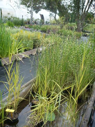 plantes d'eau (scirpus, fragmite, papyrus ...)
