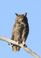 Great-horned Owl - Tres Rios Overflow Wetlands photo by Muriel N.