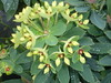euphorbe kolibri fleur