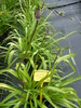 agapanthe africanus.albus
