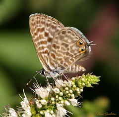 Tiny little beauties... Leptotes pirithous, in the first shot... photo by Rosa Gamboias