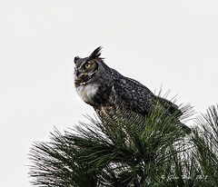 Great Horned Owl - Female photo by stan hope Off and on.