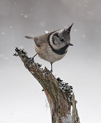 Crested Tit on lichen covered perch whilst snowing (Explored) photo by Margaret J Walker
