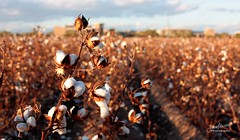 Cotton Field 04 - Project Flickr: Hometown photo by James Milstid