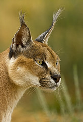Caracal_6246 photo by Peter Warne-Epping Forest