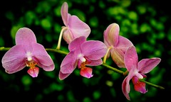 Pink Orchids  - Explore #34 4-6-2014 - Lincoln Park Conservatory - Chicago IL photo by Meridith112