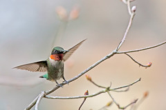 Hummingbird, Landing...1st place! photo by Rob Travis