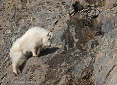 Mountain Goat Kid - 3838bsg photo by teagden