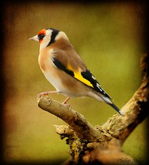 Goldfinch 2 photo by philip1120